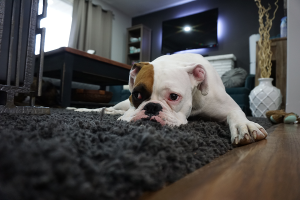 Bulldog on rug cleaned by Larson's Chem-Dry in Ogden