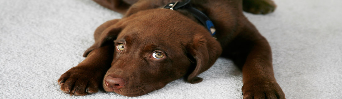 Chocolate-Lab-Puppy